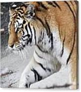 Tiger Prowls Canvas Print