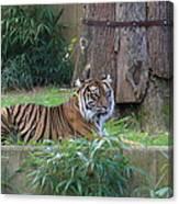 Tiger Resting Canvas Print