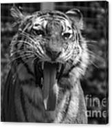 Tiger Say Aw Canvas Print