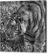 Tiger Stalking In Black And White Canvas Print