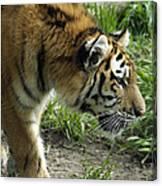 Tiger Stalking Canvas Print
