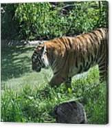 Tiger Stroll Canvas Print