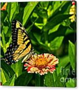 Tiger Swallowtail And Peppermint Stick Zinnias Canvas Print