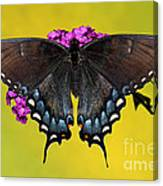 Tiger Swallowtail Butterfly, Dark Phase Canvas Print