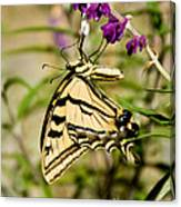 Tiger Swallowtail Butterfly Feeding Canvas Print