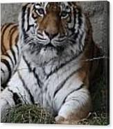 Tiger Waits Canvas Print