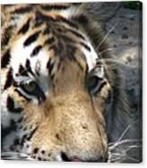 Tiger Water Canvas Print