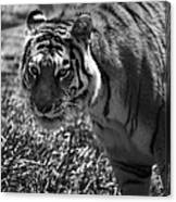 Tiger With A Cold Stare Canvas Print