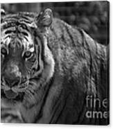 Tiger With A Fixed Stare Canvas Print