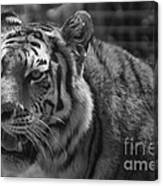 Tiger With A Hard Stare Canvas Print