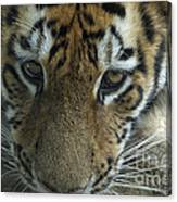 Tiger You Looking At Me Canvas Print
