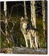 Timber Ghost Wolf Canvas Print