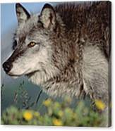 Timber Wolf Adult Portrait North America Canvas Print