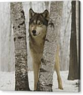 Timber Wolf Canis Lupus Canvas Print