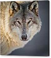 Timber Wolf Christmas Card French 21 Canvas Print