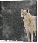 Timber Wolf Female North America Canvas Print
