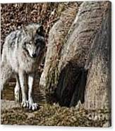 Timber Wolf In Pond Canvas Print