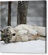 Timber Wolf In Winter Canvas Print