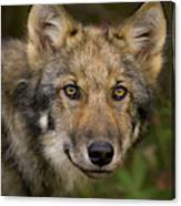 Timber Wolf In Denali Canvas Print