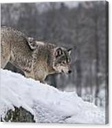 Timber Wolf On Hill Canvas Print