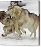 Timber Wolf  Pair Montana Canvas Print
