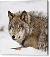 Timber Wolf Pictures 1028 Canvas Print