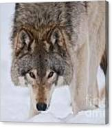 Timber Wolf Pictures 1042 Canvas Print