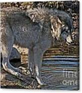 Timber Wolf Pictures 1101 Canvas Print