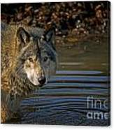 Timber Wolf Pictures 1103 Canvas Print