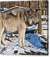 Timber Wolf Pictures 1175 Canvas Print