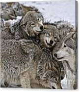 Timber Wolf Pictures 120 Canvas Print