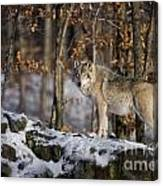 Timber Wolf Pictures 1206 Canvas Print