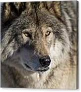 Timber Wolf Pictures 1218 Canvas Print