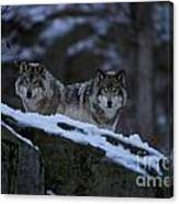 Timber Wolf Pictures 1233 Canvas Print