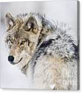 Timber Wolf Pictures 1268 Canvas Print