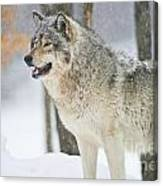 Timber Wolf Pictures 1302 Canvas Print