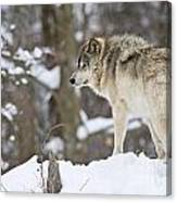 Timber Wolf Pictures 1306 Canvas Print