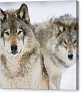 Timber Wolf Pictures 1312 Canvas Print