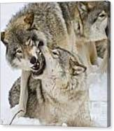 Timber Wolf Pictures 1314 Canvas Print