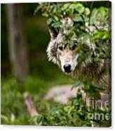 Timber Wolf Pictures 1328 Canvas Print
