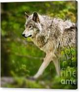 Timber Wolf Pictures 1329 Canvas Print