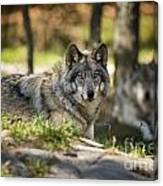 Timber Wolf Pictures 1363 Canvas Print