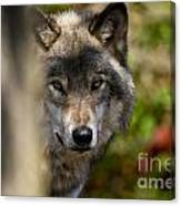 Timber Wolf Pictures 1365 Canvas Print