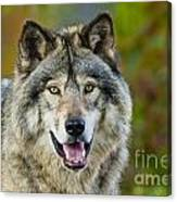 Timber Wolf Pictures 1388 Canvas Print