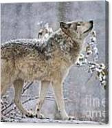Timber Wolf Pictures 1401 Canvas Print
