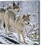 Timber Wolf Pictures 1417 Canvas Print