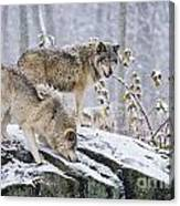 Timber Wolf Pictures 1420 Canvas Print