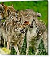 Timber Wolf Pictures 1593 Canvas Print