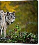 Timber Wolf Pictures 1627 Canvas Print