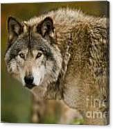 Timber Wolf Pictures 1629 Canvas Print
